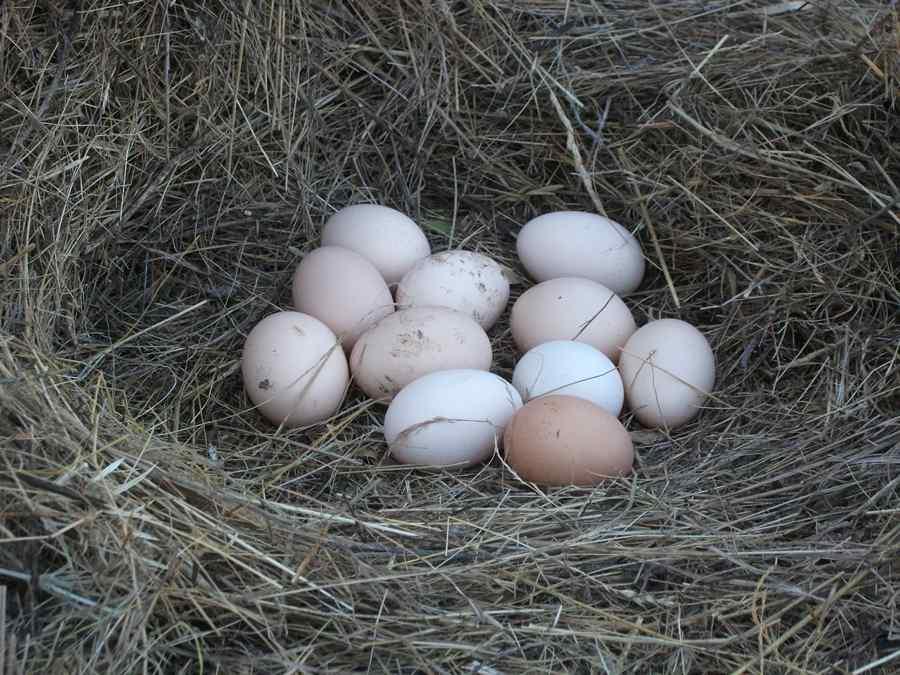куриное гнездо с яйцами
