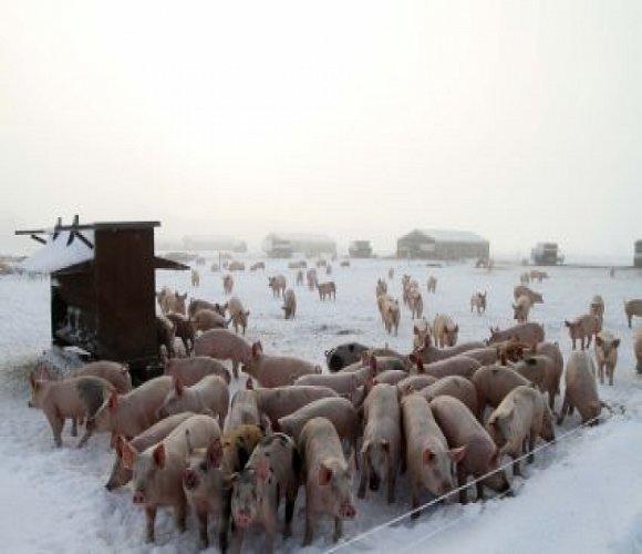 свинарник зимой